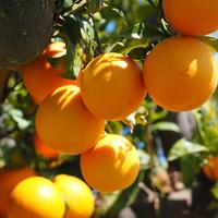 Orange Tree Farm Escape